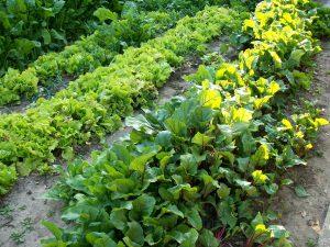 Autoabastecimiento de hortalizas ecológicas